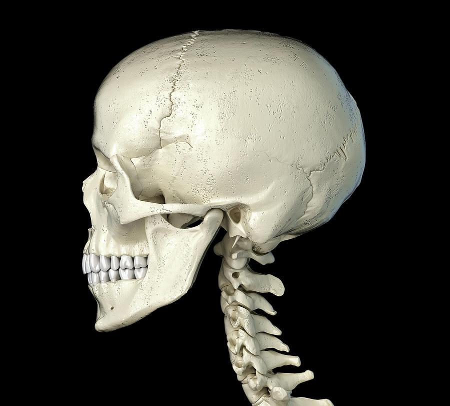 Skull Photograph - Side Profile Of The Human Skull by Leonello Calvetti