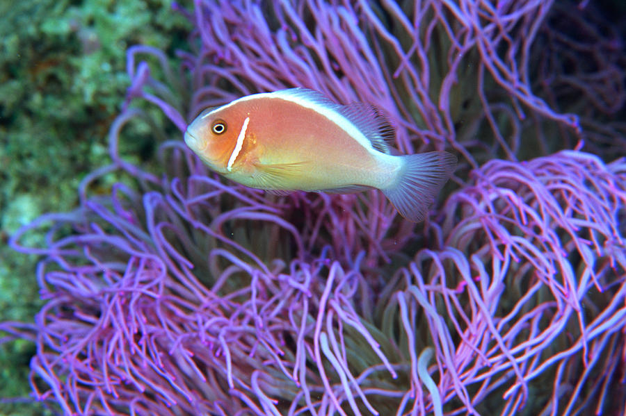 Side View Of A Pink Anemone Fish Photograph by Mixa Co. Ltd.