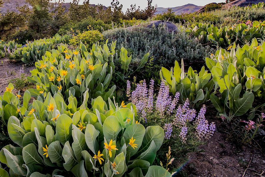 Sierra Wild Flowers Photograph by Mark Miller
