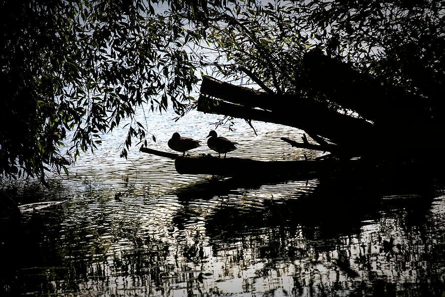 Silhouette Ducks #h9 Photograph