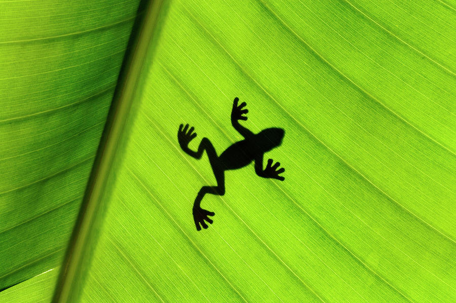 Silhouette Of Frog Through Banana Leaf Photograph by Martin Harvey