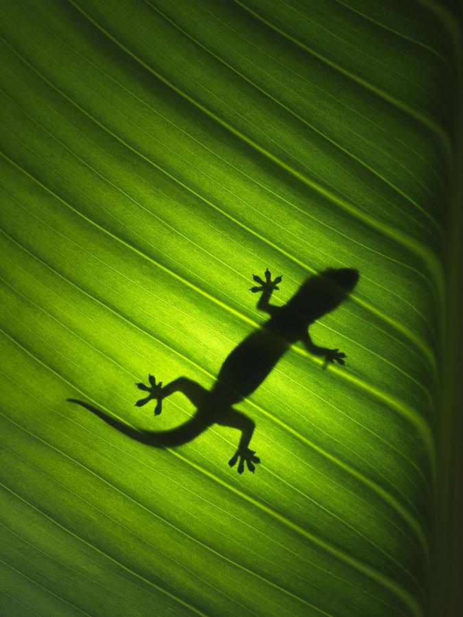 Silhouette Of Gekko Photograph by David Trood