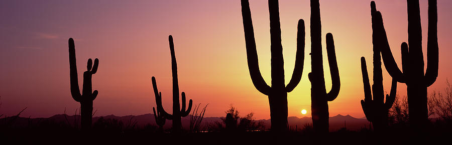 Horizontal Photograph - Silhouette Of Saguaro Cacti Carnegiea by Panoramic Images