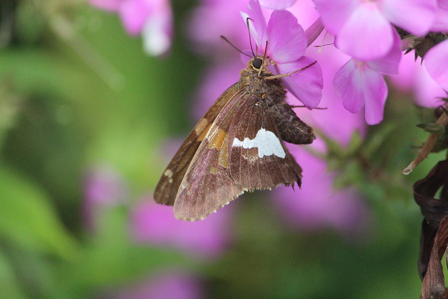Butterfly Photograph - Silver-spotted Skipper by Callen Harty