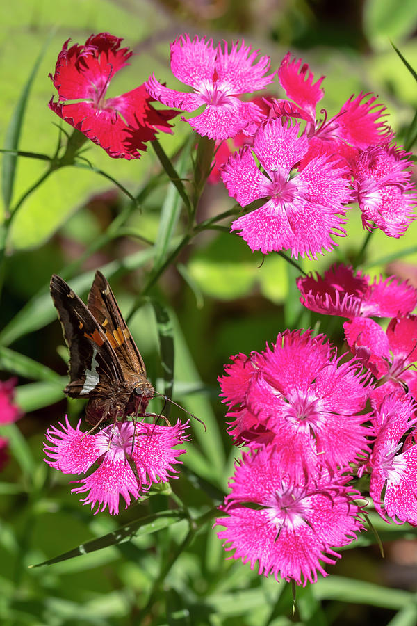 Silver-Spotted Skipper on China Pink by Dawn Cavalieri