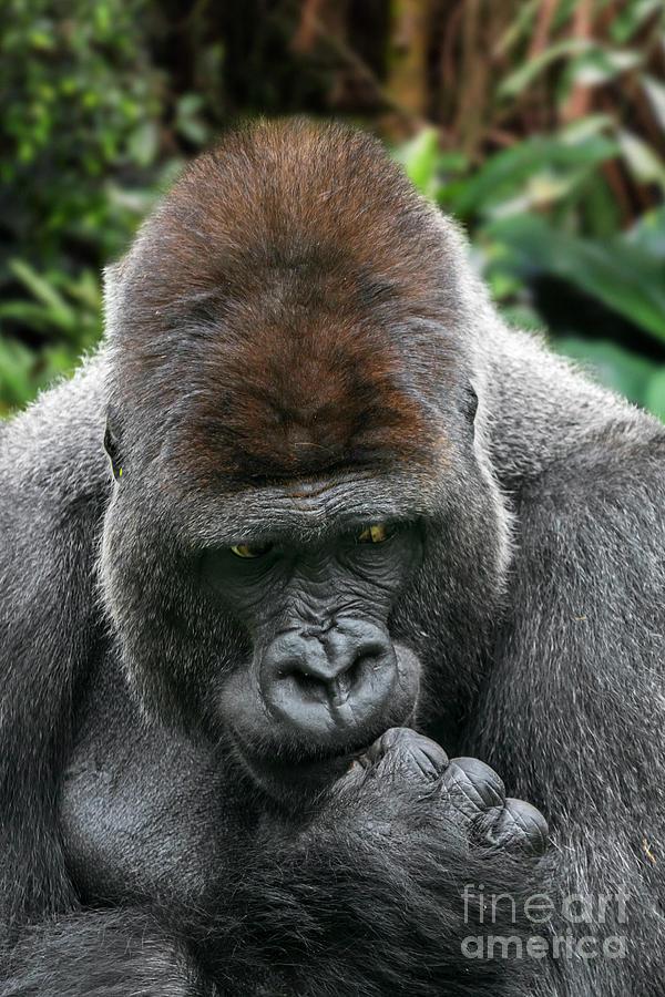 Silverback Gorilla by Arterra Picture Library