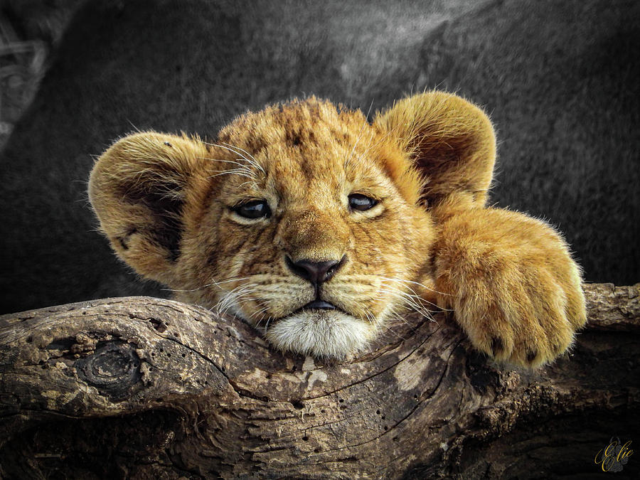 SIMBA CUB by Elie Wolf