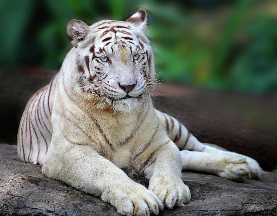 Singapore Zoo White Tiger Photograph by Seng Chye Teo