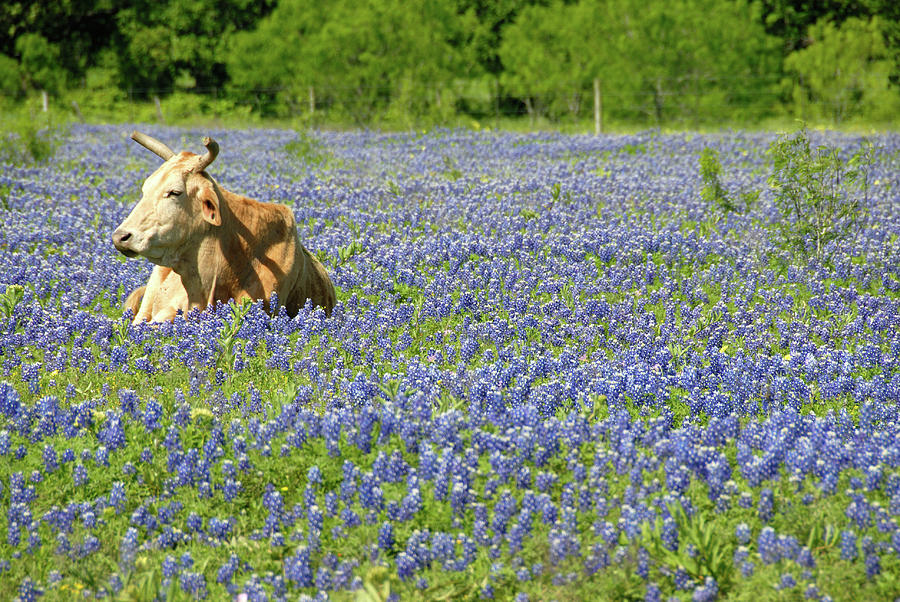 Single Cow Resting In A Field Of Texas Photograph by Zview
