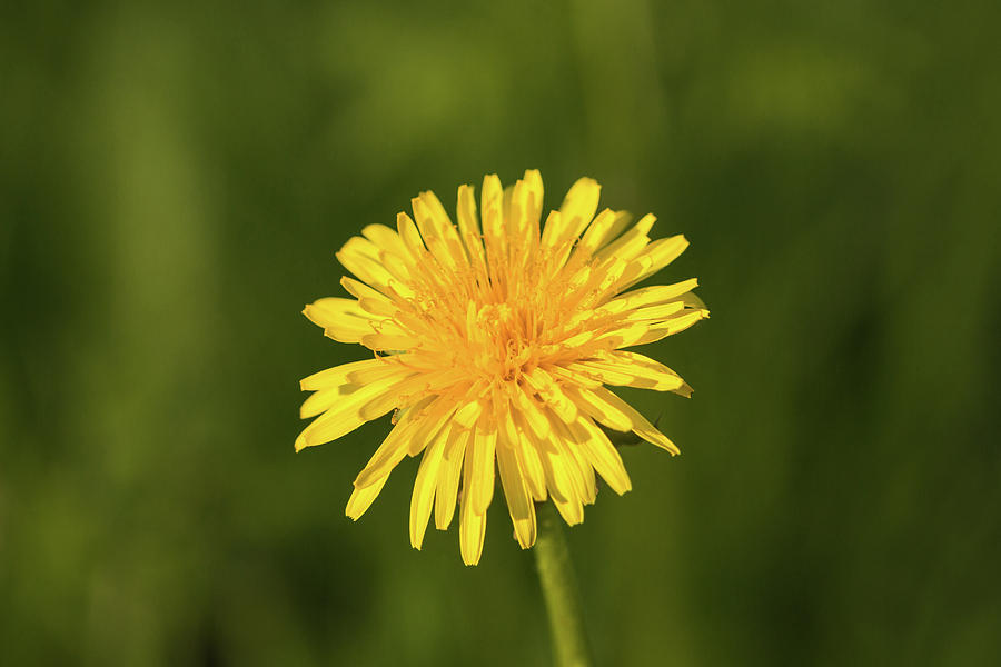 Single dandelion  by Edita Edith Anna Brus