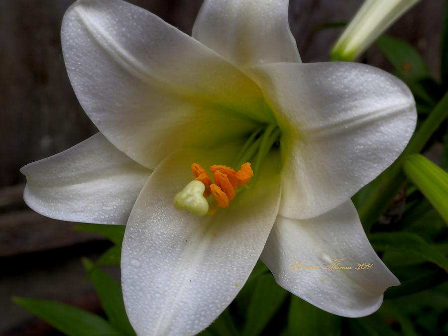 Single Easter Lily by Richard Thomas