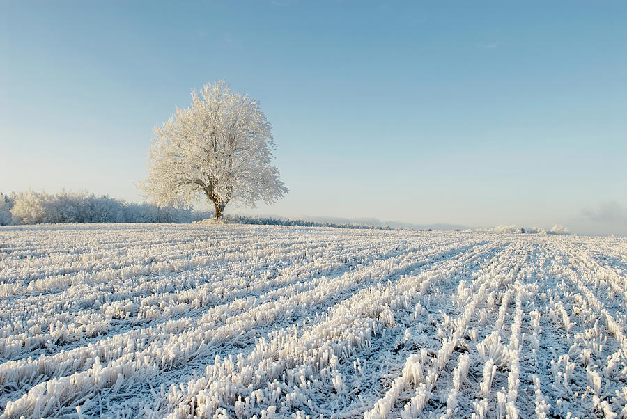 Single Elm Tree Covered In Snow In Open Photograph by Erik Buraas