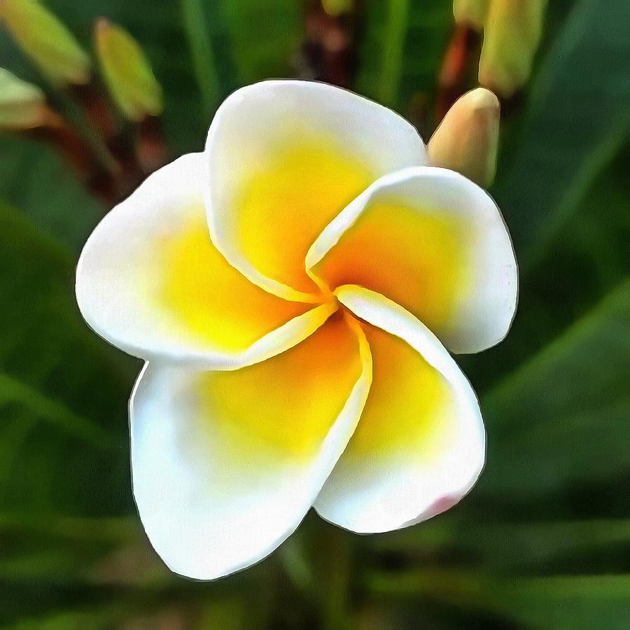 Single Frangipani Blossom by Taiche Acrylic Art