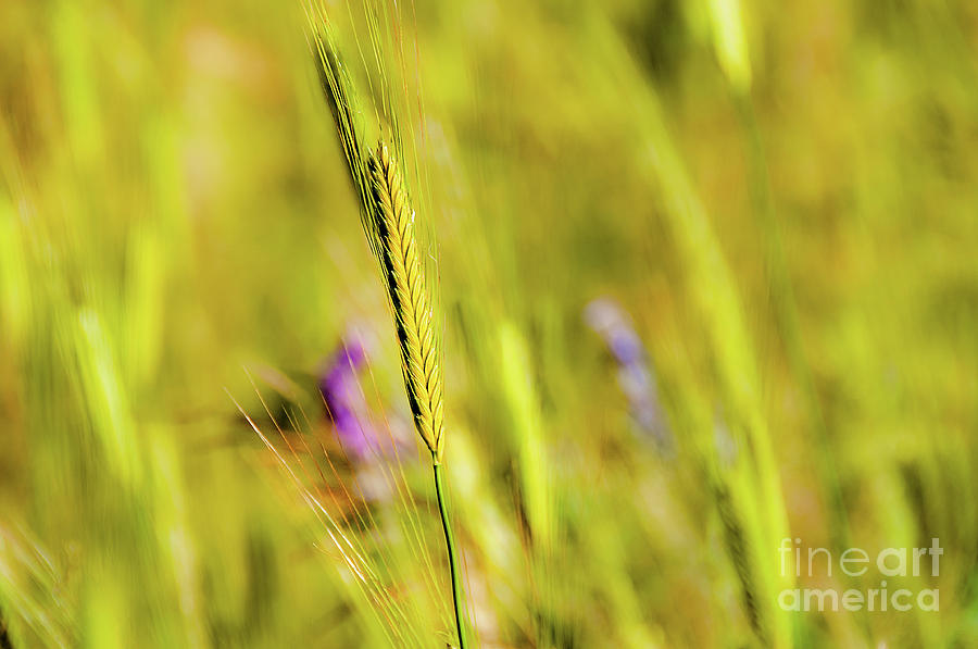 Single green-golden barley ear stands out against the blurry field in the background. by Ulrich Wende