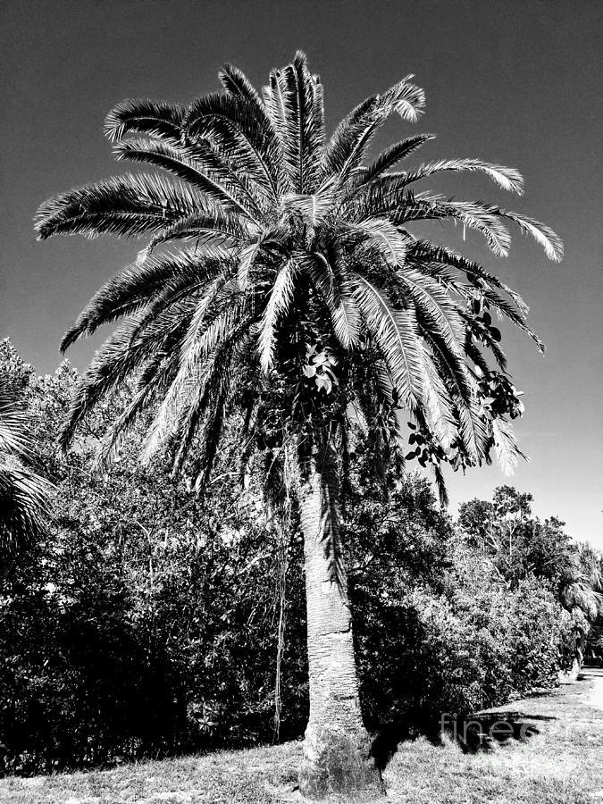 Single Palm Tree black and white by Rachel Hannah
