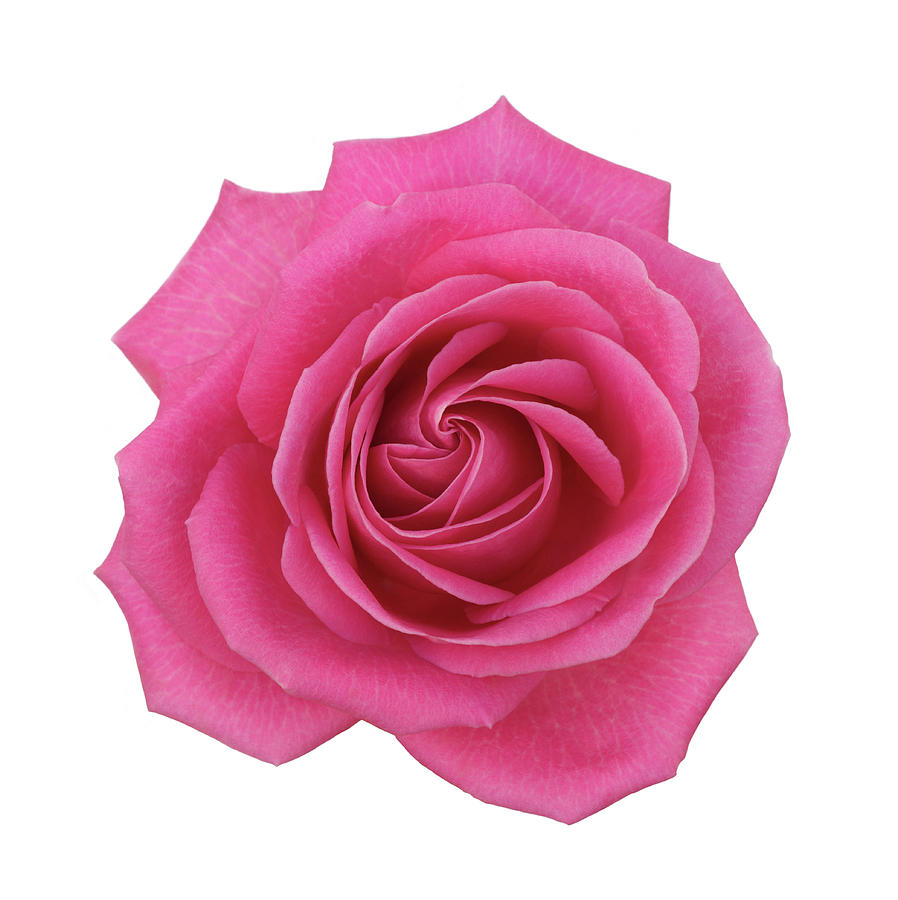 Single Pink Hybrid Rose From Above On Photograph by Rosemary Calvert