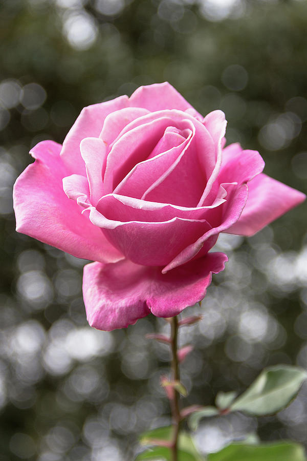 Single Pink Rose  by Amy Sorvillo