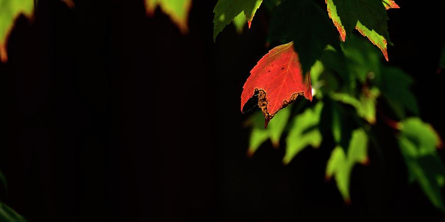 Single Red Leaf by Jerry Sodorff