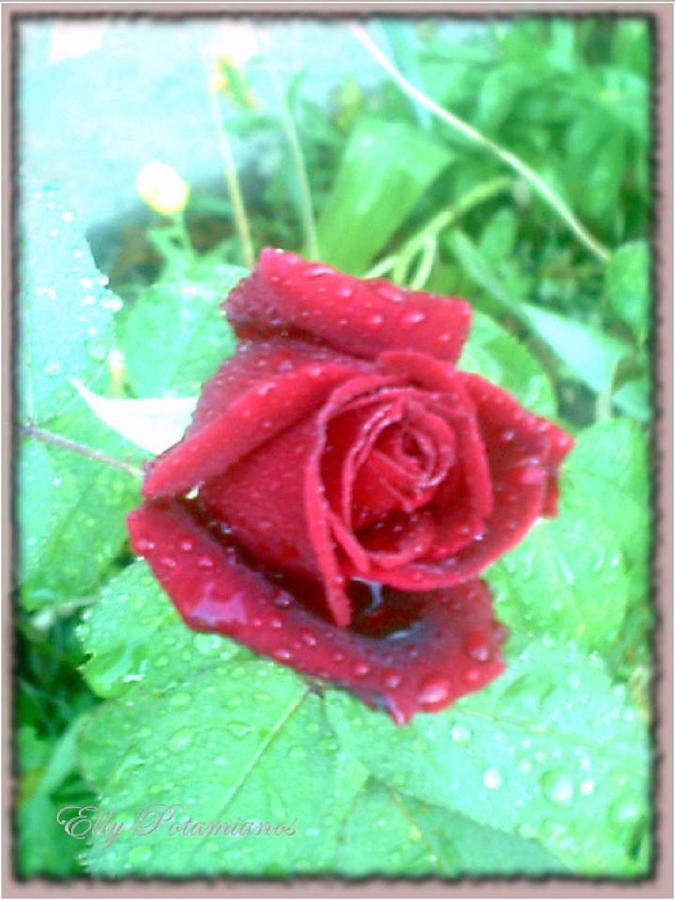 SINGLE ROSE REFRESHED by Elly Potamianos