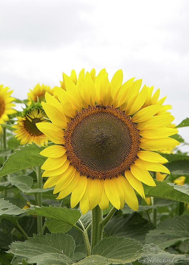 Single sunflower with bee enjoying its nectar. by Timothy Pinckard