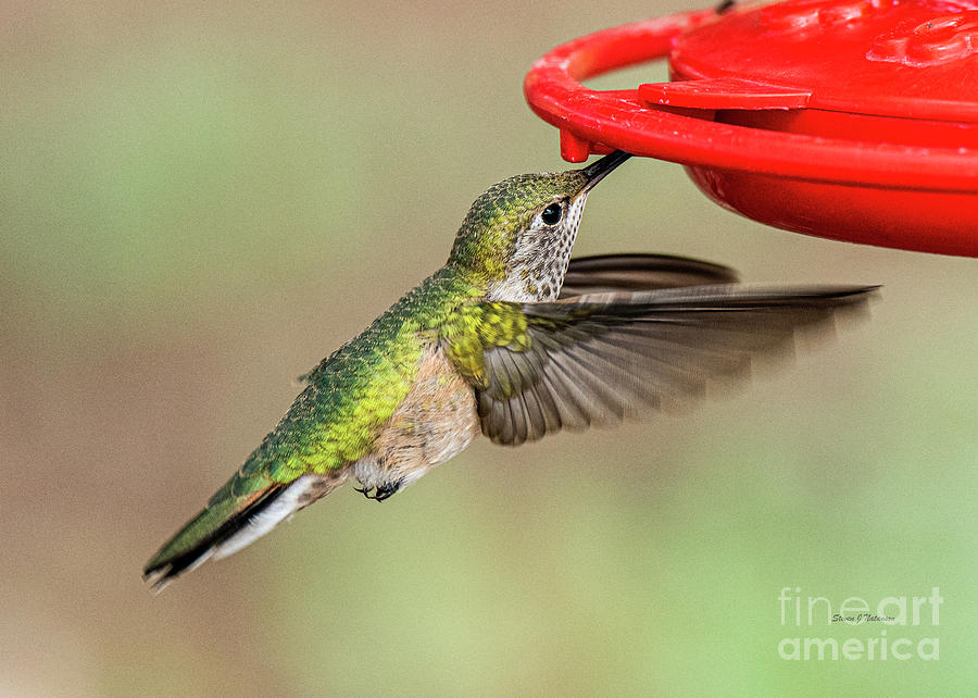 Sipping from the Feeder by Steven Natanson