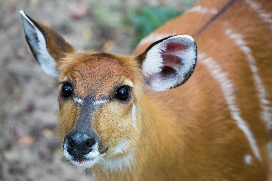 Sitatunga Up Close by Karol Livote