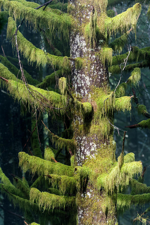Sitka Spruce and Moss by Robert Potts