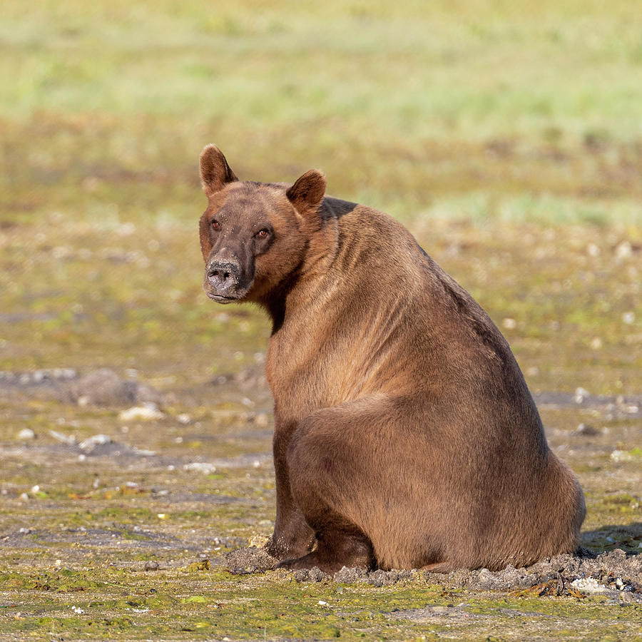 Sitting Brown Bear by Mark Hunter