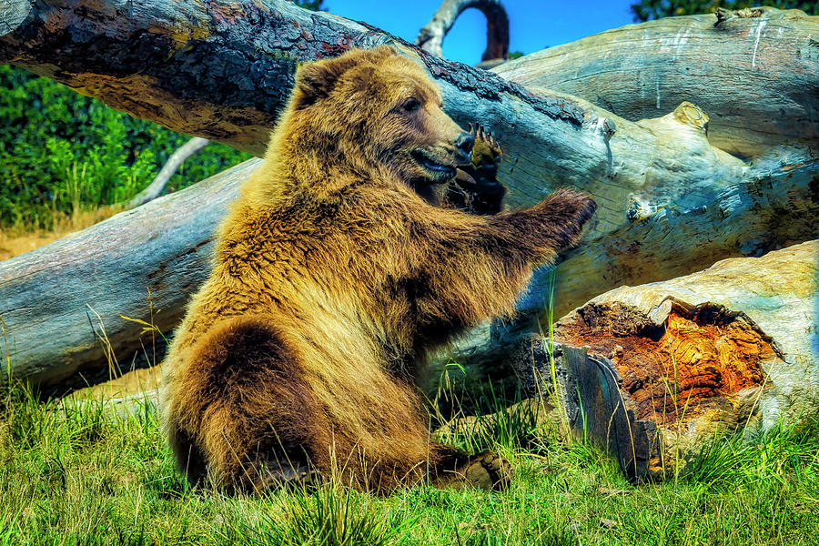 Grizzly Photograph - Sitting Grizzly Bear by Garry Gay
