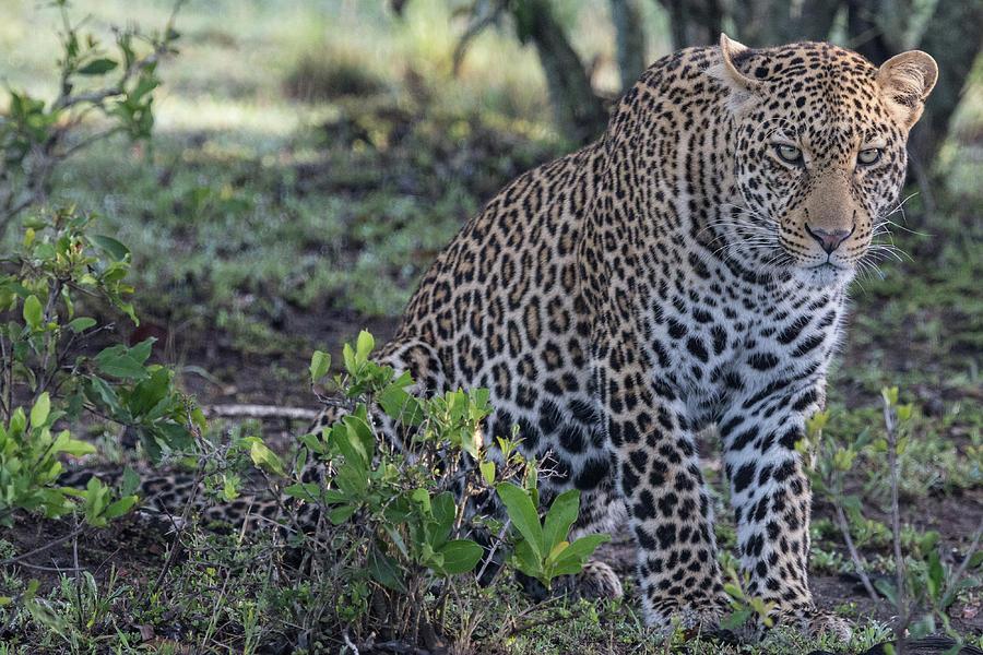 Sitting Leopard in the Maasai Mara by Mark Hunter