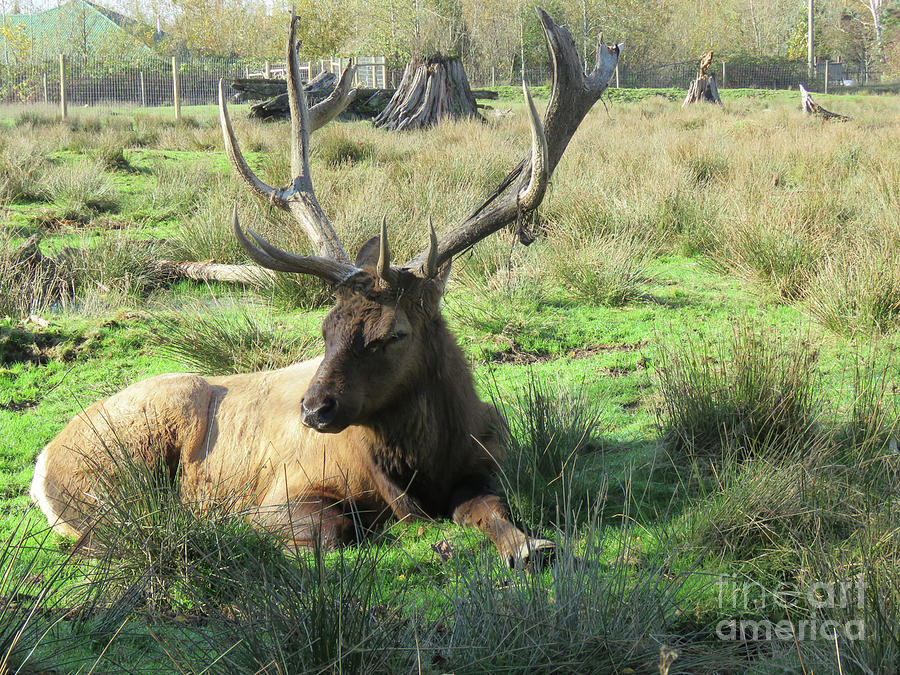 Elk Photograph - Sitting Pretty by Mary Mikawoz
