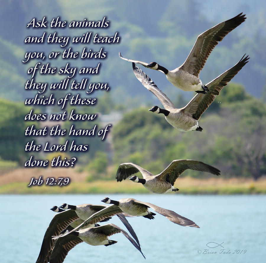Skein of Canada Geese with Scripture by Brian Tada