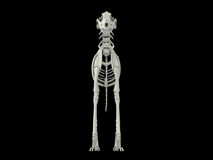 Skeletal System Of A Dog, Front View by Stocktrek Images