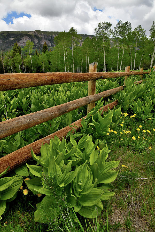 Skunk Cabbage and Fence in Big Cimarron by Ray Mathis