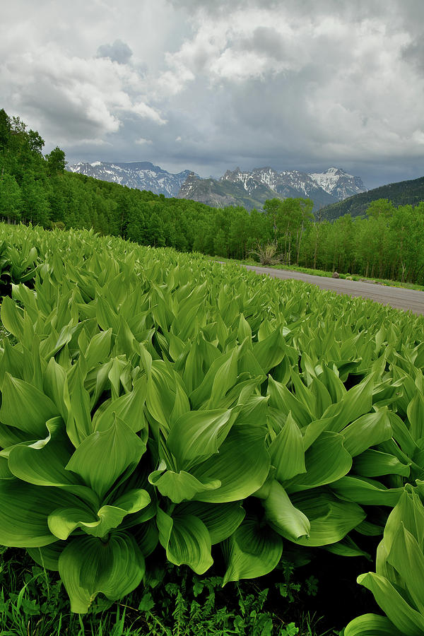 Skunk Cabbage in Big Cimarron by Ray Mathis