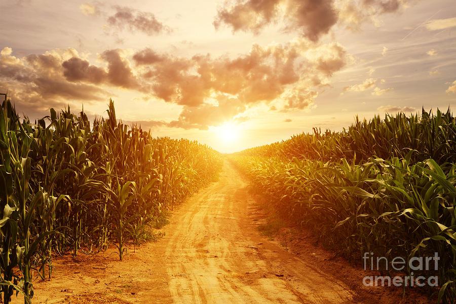 Sunrise Photograph - Skyline And Corn Field by Zhu Difeng