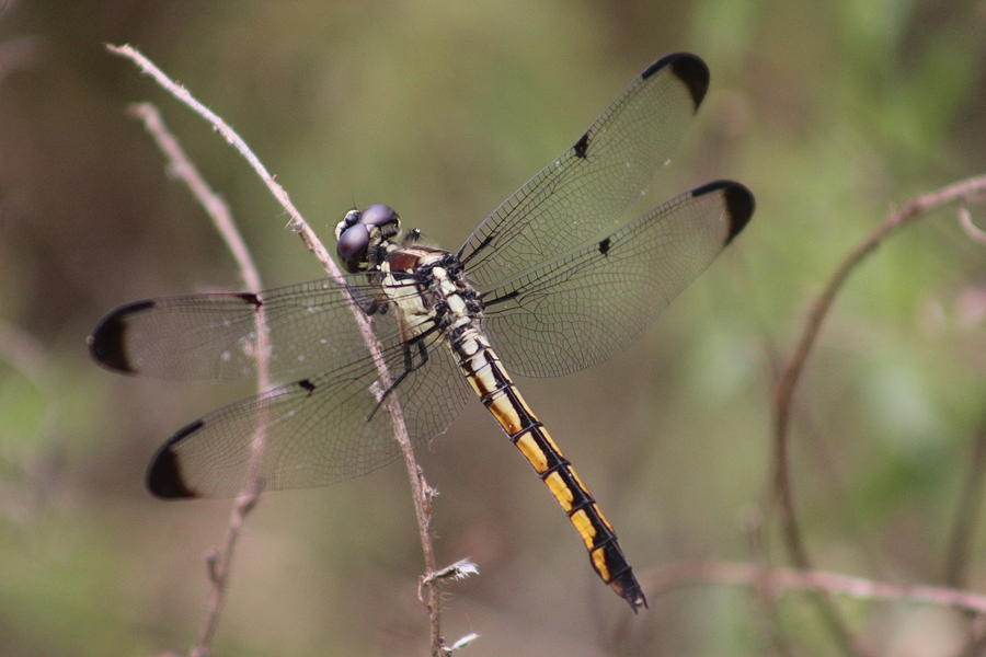 Dragonfly Photograph - Slaty Skimmer by Callen Harty
