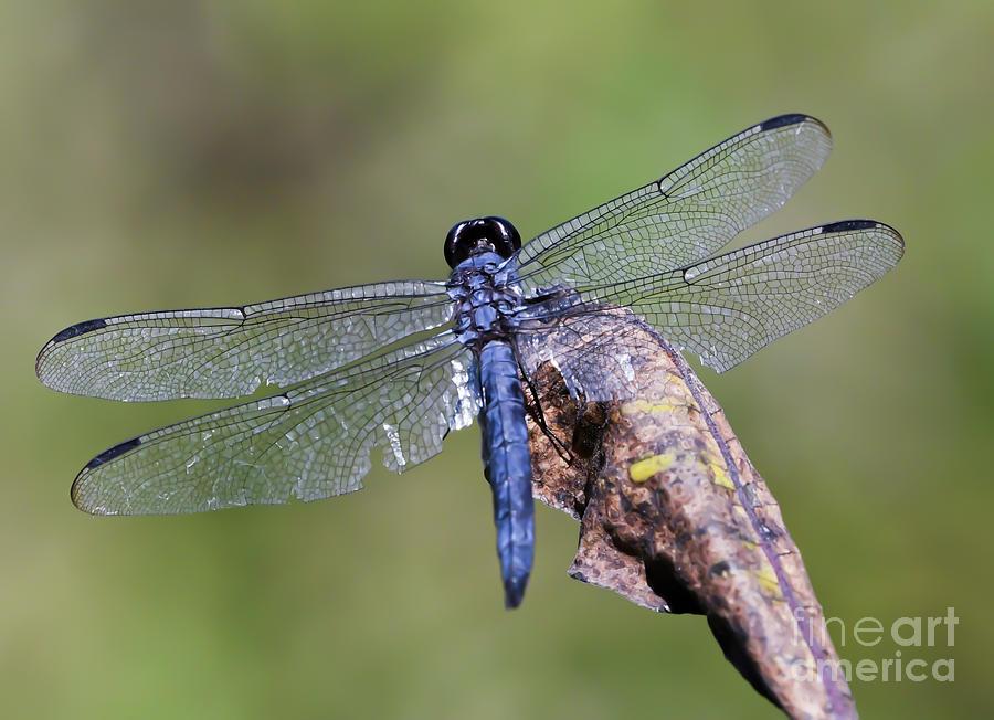 Slaty Skimmer Dragonfly  by Kerri Farley