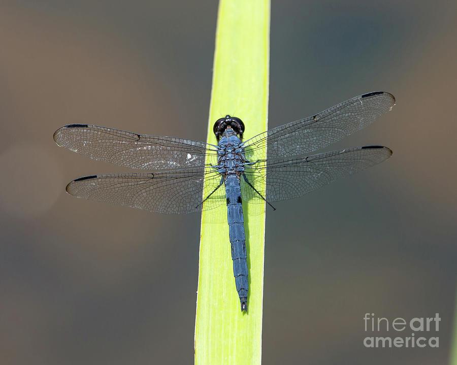 Slaty Skimmer Dragonfly by Kevin McCarthy