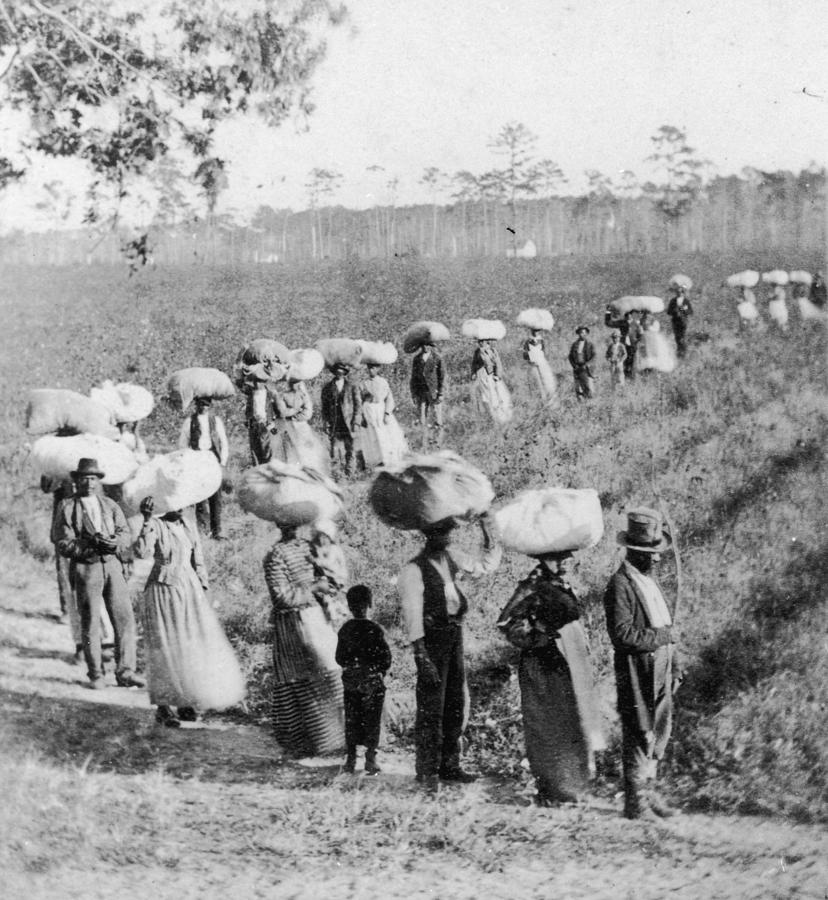 Slaves In The Cotton Fields Photograph by Fotosearch
