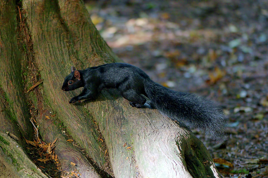 Sleek Black Squirrel Eastern Gray by Sharon Talson