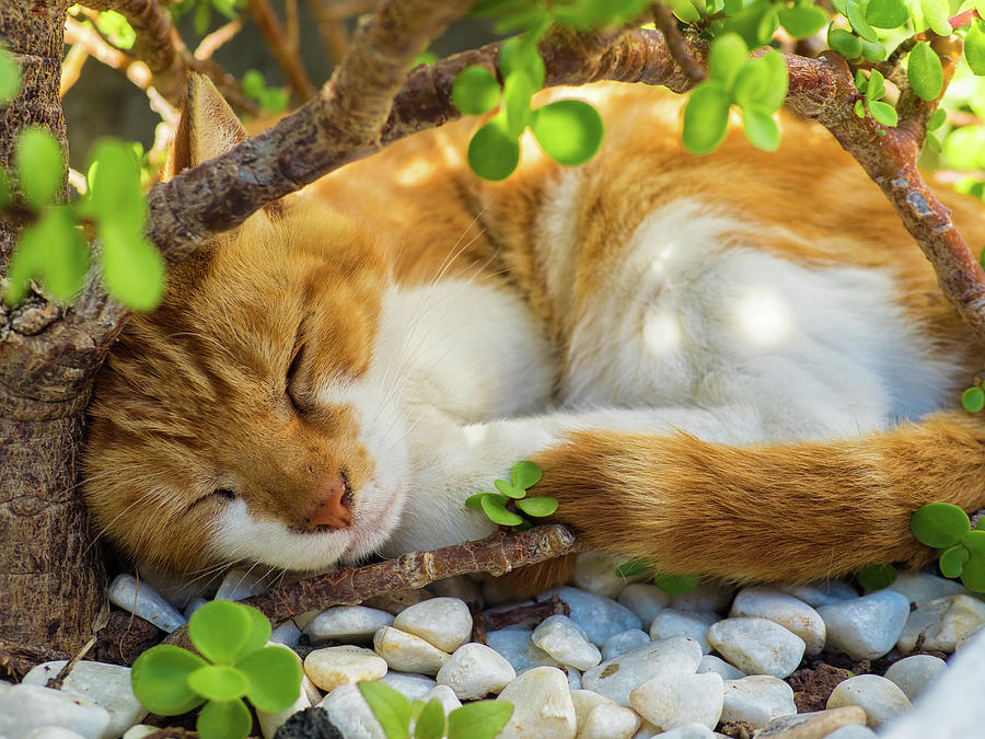 Cat Photograph - Sleeping Cat by Curtis Patterson