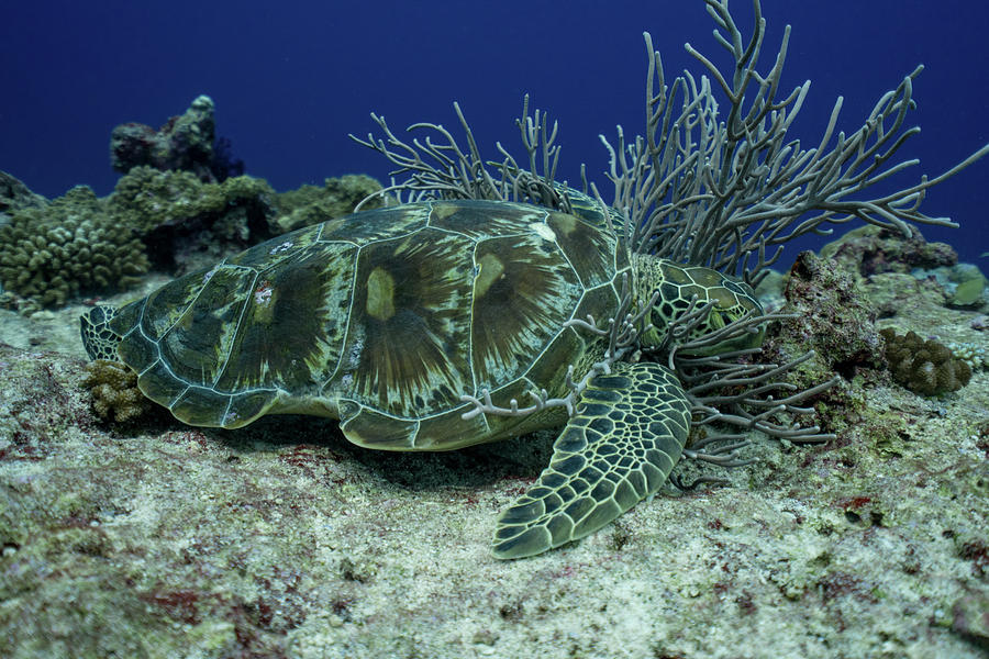 Sleeping Hawksbill Sea Turtle - Eretmochelys imbricata by Harry Donenfeld