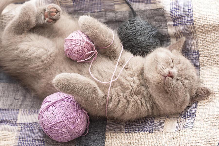 Fur Photograph - Sleeping Kitten Rare Color Lilac by Liliya Kulianionak