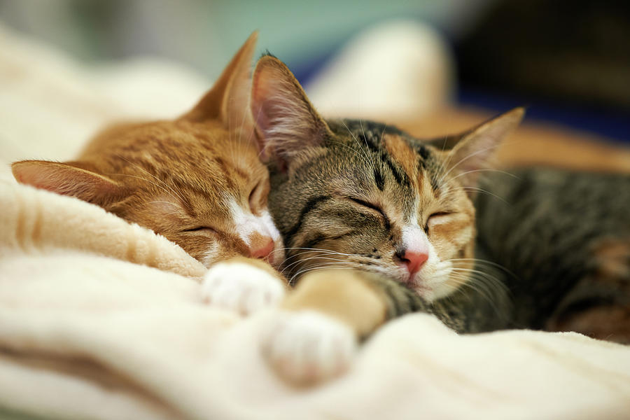 Sleeping Kittens Photograph by Akimasa Harada