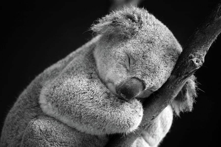 Sleeping Koala Photograph by David Morgan-mar