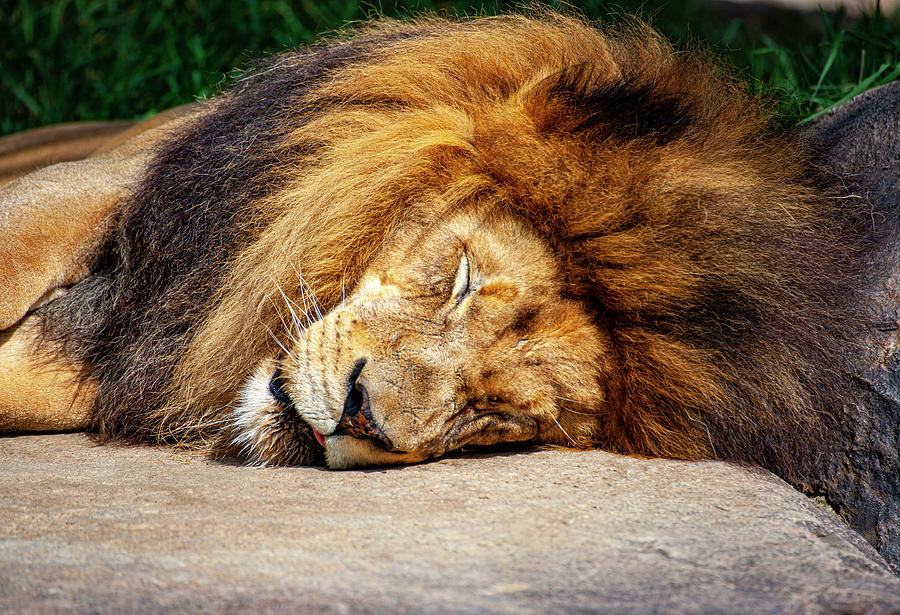 Sleeping Lion by Anthony Jones