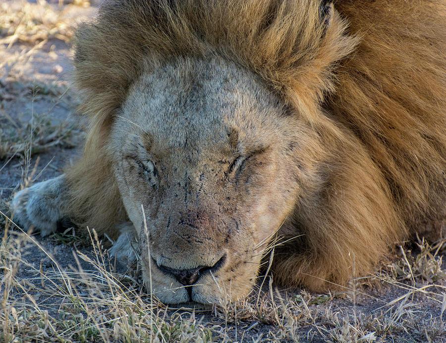 Sleeping Male Lion by Mark Hunter