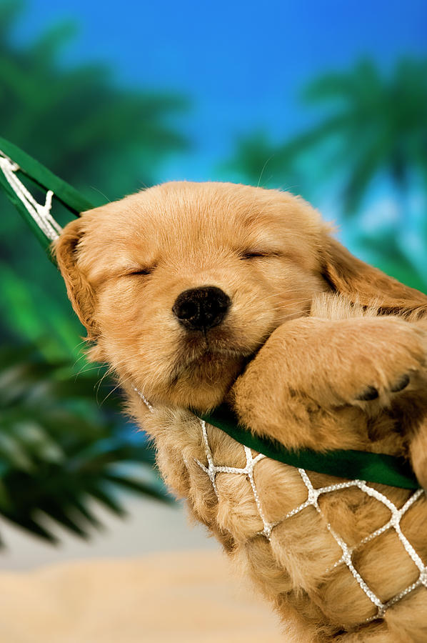 Sleeping Puppy In A Hammock At A Beach Photograph by Cmannphoto