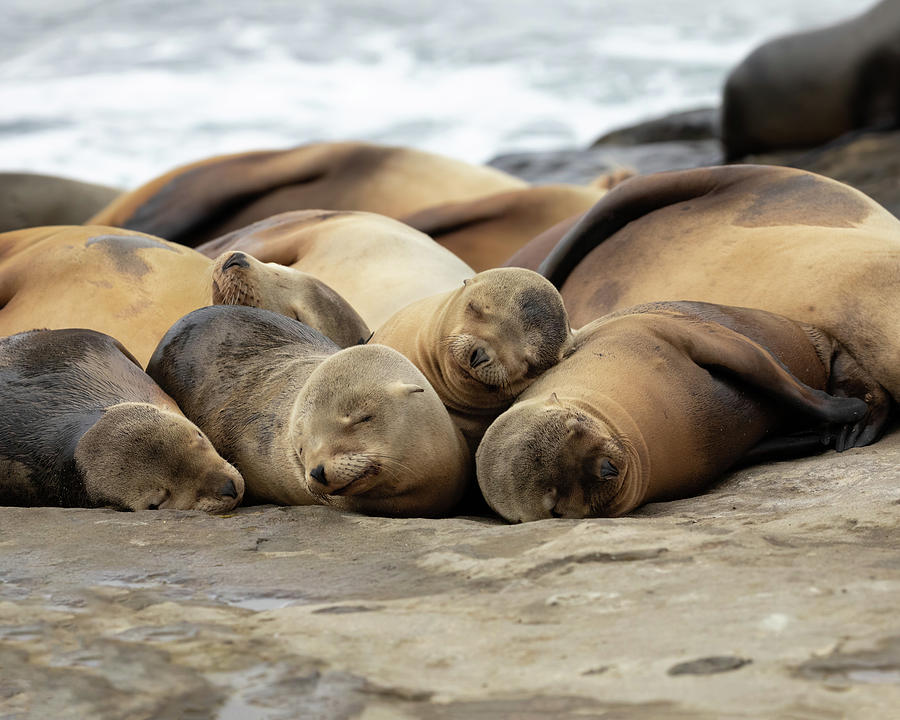 Sea Lions Photograph - Sleeping Sea Lions by K Pegg